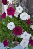 Fiori, petunia, flora, stagione, decorazione Immagini Stock