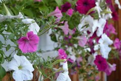 Fiori, petunia, flora, stagione, decorazione Immagini Stock Libere da Diritti