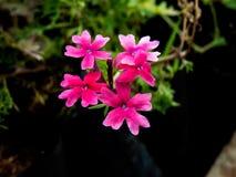 Fiori piccoli di Rose Verbena India rosa immagini stock libere da diritti