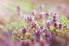 Fiori porpora accesi dal sole della molla Fotografie Stock