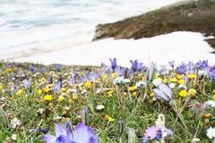 Fiori porpora, blu, gialli e bianchi ed erba verde nella priorità alta contro il lago e la neve del ghiaccio Fotografia Stock