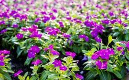 Fiori porpora del Allamanda nel garden2 Fotografia Stock Libera da Diritti