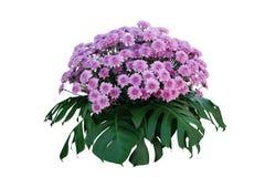 Fiori porpora del crisantemo con le foglie tropicali Monstera, disposizione floreale della natura del podio ornamentale del cespu fotografie stock
