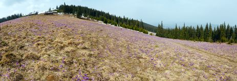 Fiori porpora del croco sulla montagna della molla Fotografia Stock
