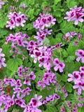 Fiori porpora del geranio di Fragrans del pelargonium immagine stock libera da diritti