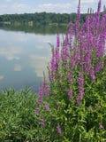 Fiori porpora del lago Immagini Stock Libere da Diritti