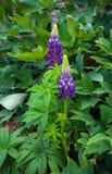 Fiori porpora del lupino, fiore in giardino domestico fotografia stock