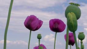 Fiori porpora del papavero e teste non mature del seme contro cielo blu archivi video