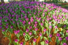 Fiori porpora del tulipano di mattina Fotografia Stock