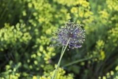 Fiori porpora dell'allium che iniziano a fiorire Immagini Stock Libere da Diritti