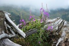 Fiori porpora dell'epilobio vicino alla vecchia grande radice contro lo sfondo del angustif di Chamaenerion delle montagne nebbio Immagine Stock
