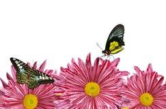 Fiori porpora della molla con le farfalle fotografia stock libera da diritti