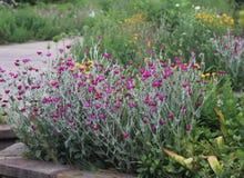 Fiori porpora della primavera in giardino Immagini Stock Libere da Diritti
