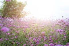 Fiori porpora della verbena nel parco Fotografia Stock Libera da Diritti