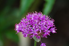 Fiori porpora di fioritura dell'allium Immagine Stock Libera da Diritti