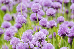 Fiori porpora di fioritura della erba cipollina Immagine Stock