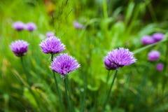 Fiori porpora di una erba cipollina Fotografia Stock Libera da Diritti