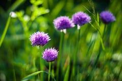Fiori porpora di una erba cipollina Fotografie Stock