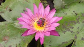 Fiori porpora di Waterlily con molte api che raccolgono il dolce archivi video
