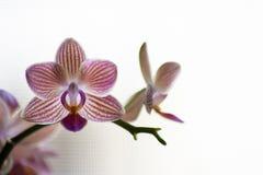 Fiori porpora e bianchi dell'orchidea di Phalenopsis su fondo leggero fotografia stock