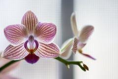 Fiori porpora e bianchi dell'orchidea di Phalenopsis su fondo leggero immagini stock
