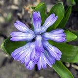 Fiori porpora e blu del giacinto pronti a fiorire, osservare da sopra Fotografia Stock
