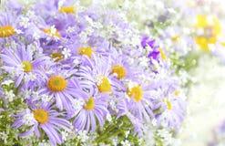 Fiori porpora luminosi vibranti della margherita Fiori di estate e della primavera Immagini Stock Libere da Diritti