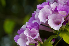fiori porpora nella fine del giardino su fondo Fotografia Stock