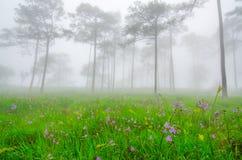 Fiori porpora nella foresta del pino nella foschia e nella pioggia a Phu S fotografia stock