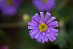 Fiori porpora in primavera Fotografie Stock