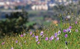 Fiori porpora in una collina vicino ad una città fotografia stock