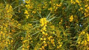 Fiori in primavera 11 dell'acacia dorata stock footage