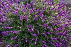 Fiori prudenti del cespuglio messicano in tonalità porpora nel giardino in Tasma immagine stock libera da diritti