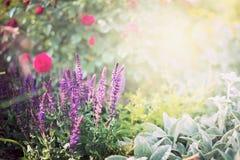 Fiori prudenti sul fondo del giardino o del parco di rose Immagine Stock Libera da Diritti
