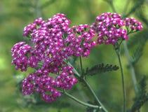 Fiori rosa. Immagini Stock