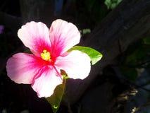 Fiori rosa Immagini Stock Libere da Diritti