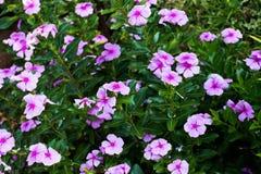 Fiori rosa Immagini Stock