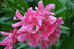 Fiori rosa Fotografia Stock