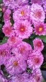 Fiori rosa Fotografia Stock Libera da Diritti