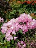Fiori rosa ai giardini di Butchart Immagini Stock Libere da Diritti