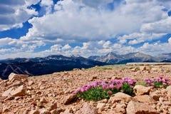Fiori rosa alpini del trifoglio sulle montagne fotografia stock libera da diritti