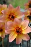 Fiori rosa arancio della dalia Fotografia Stock
