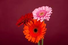Fiori rosa arancio rossi della gerbera Fotografia Stock Libera da Diritti