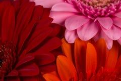 Fiori rosa arancio rossi della gerbera Fotografia Stock