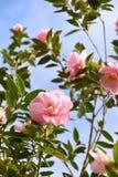 Fiori rosa - camelia Immagine Stock