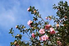 Fiori rosa - camelia Fotografie Stock