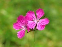 Fiori rosa Carthusian (carthusianorum del Dianthus) Immagini Stock Libere da Diritti