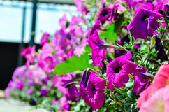 Fiori rosa casalinghi Fotografie Stock