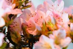 Fiori rosa che fioriscono su un albero minuscolo dei bonsai fotografia stock