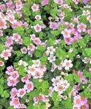 Fiori rosa-chiaro adorabili di Bacopa in fioritura fotografie stock